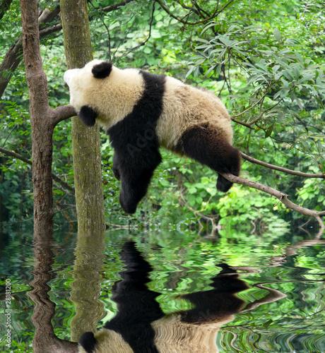 Fotografía panda