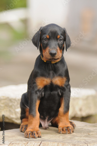 DOBERMANN Canvas Print