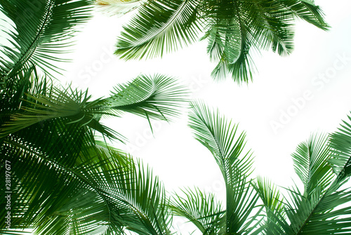 Poster Palmier palm tree