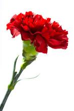 Red Carnation On A White Backg...