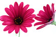 canvas print picture - Blume