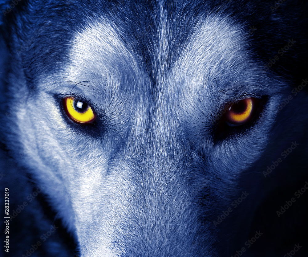 Fototapeta beautiful eyes of a wild wolf.
