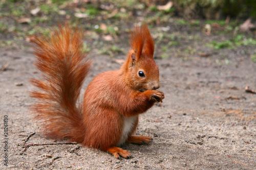 Foto op Canvas Eekhoorn Red Eurasian squirrel