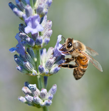 Honeybee Collecting Nectar On Lavender