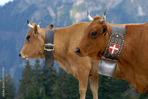 Photo sur Aluminium Vache Vaches de race Tarine