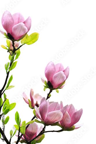 Foto op Plexiglas Magnolia Spring magnolia tree blossoms