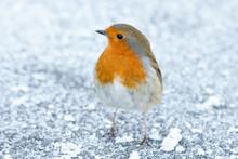 Christmas Winter Robin On Snow...