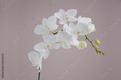 storczyk biały pąki - 28334258