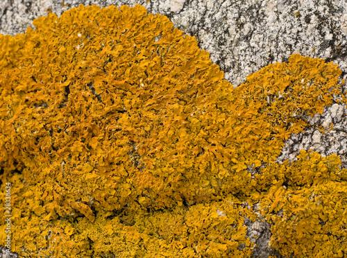 Common orange lichen (Xanthoria parietina) Canvas Print