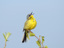 Singing Yellow Wagtail