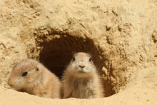 Baby Prairie Dogs Looking Out ...