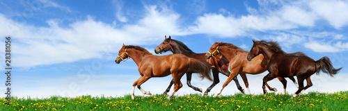Foto op Canvas Paarden herd gallops in green field