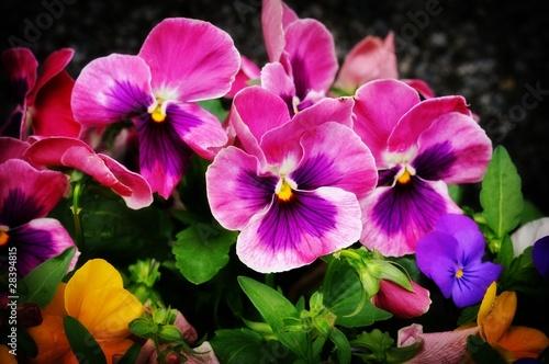 Papiers peints Pansies Colorful flowers