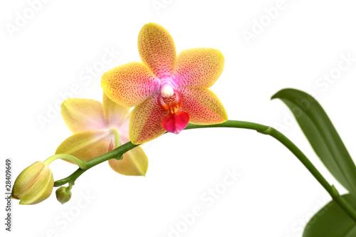 zolta-orchidea-phalaenopsis