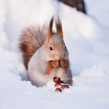 Squirrel On The Snow With A Ha...