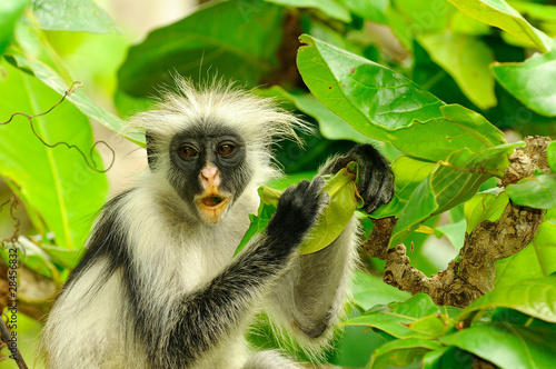 Door stickers Zanzibar Zanzibar Red Colobus Procolobus kirkii