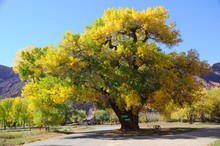 Beautiful Cottonwood  Tree  In...