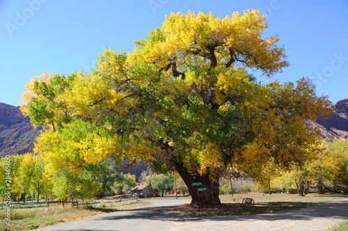 Fotografie, Obraz  Beautiful Cottonwood  Tree  in Autumn