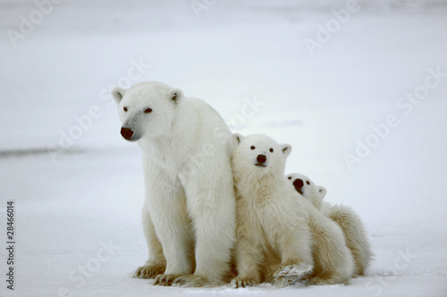 Spoed Fotobehang Ijsbeer Polar she-bear with cubs.