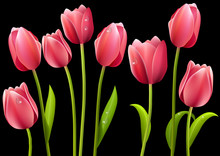 Set Of Pink Tulip Flowers With...