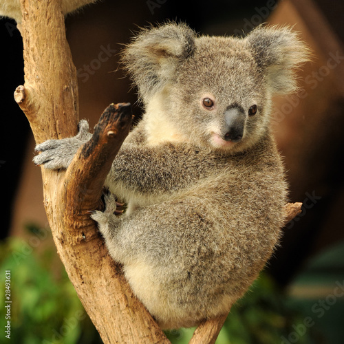 Staande foto Koala Koala joey sits on a branch