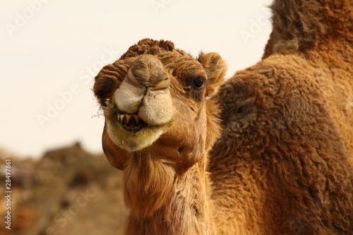 Foto op Plexiglas Marokko Morocco Camel Sahara Desert