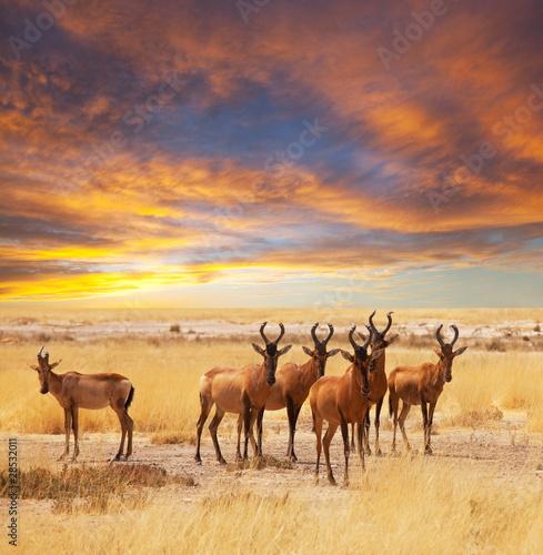 Poster Antilope Antelope