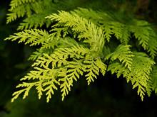 """Gelbe Scheinzypresse. Chamaecyparis Lawsoniana """"Yvonne""""."""