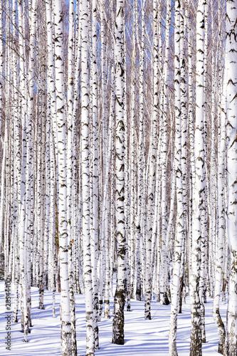 Spoed Fotobehang Berkbosje Winter birch forest - winter serenity. Ideally suits for calenda