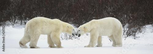 Deurstickers Ijsbeer Meeting of two polar bears.