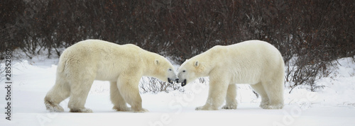 Fotografía Meeting of two polar bears.