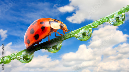 Canvas Prints Ladybugs Early morning ladybug on fresh dewy grass.