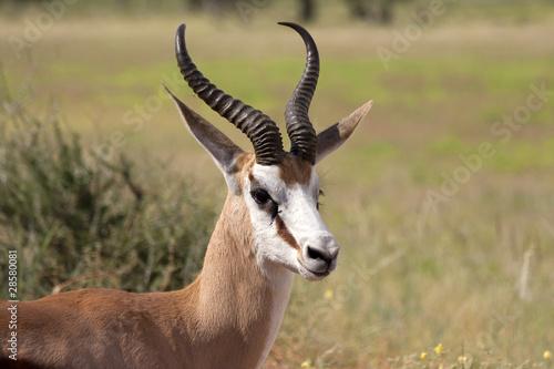 Canvas Prints Antelope Springbock close up