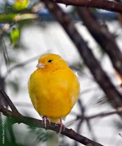 Fotografia  Yellow Canary