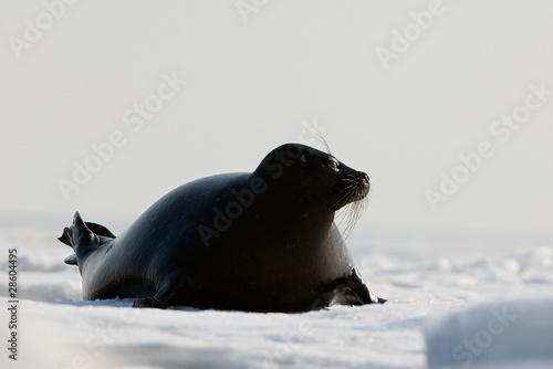 Fotografie, Obraz  The Ladoga seal.