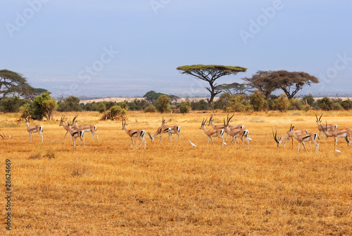 Staande foto Afrika Grant's gazelles