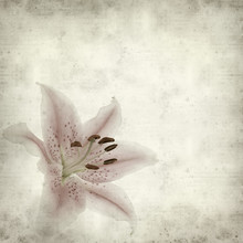 Textured Old Paper Background With Pale Pink And White Lily Flow