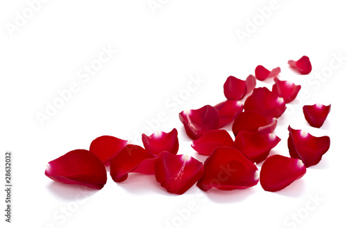 petals rose flower nature love