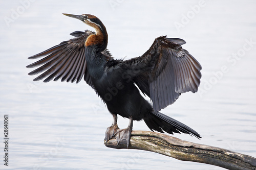 Valokuva African Darter drying its wings