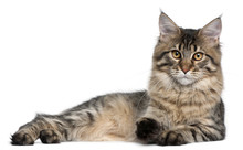 Maine Coon Cat, 9 Months Old, Lying