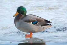 Mallard Duck Standing On Froze...