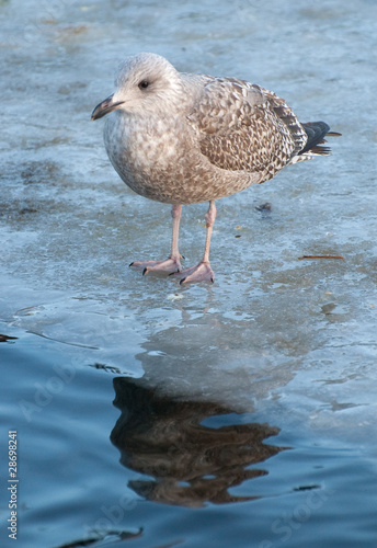 baby seagull standing on frozen pond - Buy this stock photo
