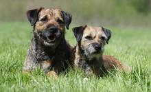 Maman Border Terrier Et Son Chiot Dans L'herbe