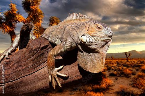 iguana at sunset