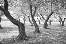 Black White Twisted Cherry Trees In Grove Washington DC USA