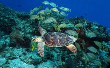 Hawksbill Turtle Swimming With A School Of Grunts - Cozumel