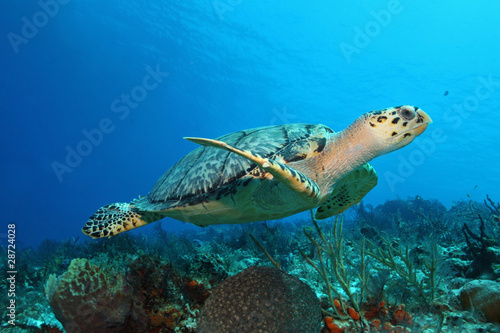 Poster Tortue Hawksbill Turtle (Eretmochelys imbricata) - Cozumel, Mexico