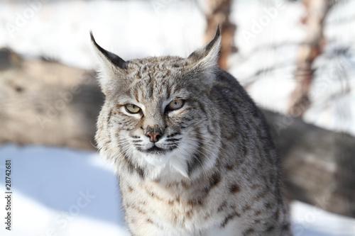 Wall Murals Lynx Bobcat (Lynx rufus)