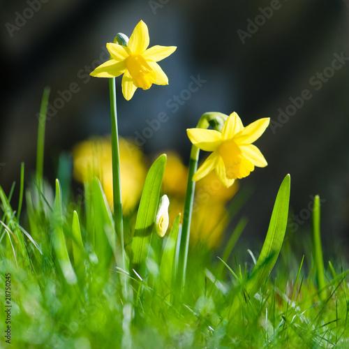 Spoed Foto op Canvas Narcis Osterglocken, Frohe Ostern, Frühlingsblumen, Frühjahr