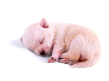 Sleeping Chihuahua Puppy On White Background